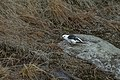Plectrophenax nivalis 04(js), Longyearbyen.jpg
