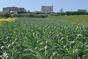 Piantagione di carciofi in Bretagna, vicino a Pleubian