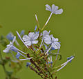 Plumbago auriculata (Blue-flowered Plumbago) in Hyderabad, AP W IMG 2437.jpg