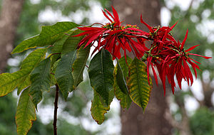 Poinsettia - Poinsettia leaves, bracts, and flowers at Jayanti in Buxa Tiger Reserve of West Bengal, India