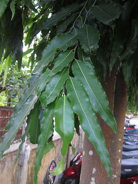 പ്രമാണം:Polyalthia longifolia - അരണമരം 01.JPG