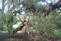 Polylepis australis at Dundee Botanic Garden 6.jpg