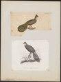 Polyplectron bicalcaratum - 1700-1880 - Print - Iconographia Zoologica - Special Collections University of Amsterdam - UBA01 IZ16900181.tif