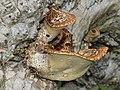 Polyporus squamosus 2013 G2.jpg