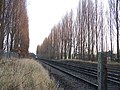 Poplar Trees beside Railway Line - geograph.org.uk - 634424.jpg