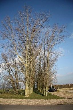Poplars - geograph.org.uk - 1139392