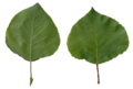 Populus tremula scanned leaves.png
