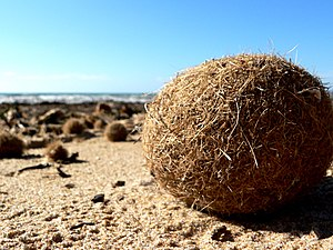 Posidonia oceanica - Ball of fibrous material on shore