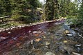 Potassium permanganate colors the water below the station neutralizing rotenone treatment in Soda Butte Creek (36781332291).jpg
