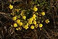 Potentilla arenaria PID760-1.jpg