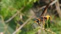 Potter wasp lateral (16257738602).jpg