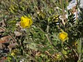 Prairie cinquefoil, Potentilla pensylvanica (24706001992).jpg