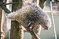 Prehensile Tail Porcupine Climbing Down Quills Out (18145785541).jpg