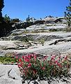 Pride-of-the-mountain Penstemon newberyi ledges.jpg