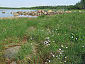 Primula nutans Simo, Finland 03.06.2013 img 2.jpg