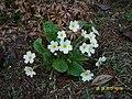 Primula vulgaris (Giardino botanico OasiMonferrina).jpg