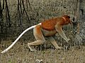 Proboscis Monkey (Nasalis larvatus) male (6707343385).jpg