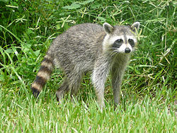 A raccoon in Birch State Park,Fort Lauderdale, Florida
