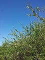 Prunus ×eminens sl21.jpg
