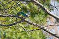 Psephotus haematonotus -pair -Australia-8.jpg