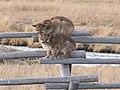 Puma concolor What Do We Do Now?.jpg