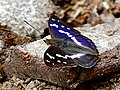 Purple Emperor (Apatura iris) male (35380442921).jpg