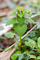 Purple deadnettle (25284886494).jpg