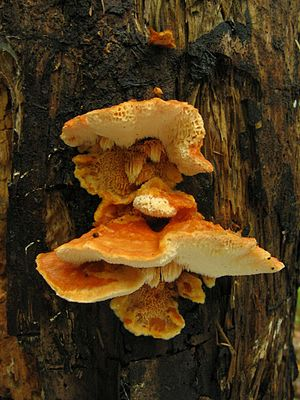 Indicator fungi in forest protection, Finland - Image: Pycnoporellus fulgens