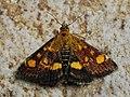 Pyrausta aurata - Mint moth - Огнёвка золотистая (43890774101).jpg