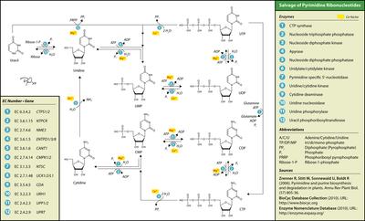 Nucleotide salvage - Wikipedia
