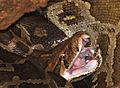 Python molurus bivittatus.jpg