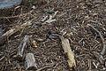 Quai Wilson, Genève 09-05-2013 - Couple de canards colvert dans les bois flottés.jpg