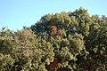Quercus ilex Aumelas.jpg