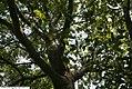 Quercus imbricaria 4zz.jpg