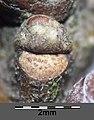 Quercus pubescens sl30.jpg