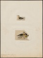 Querquedula brasiliensis - 1700-1880 - Print - Iconographia Zoologica - Special Collections University of Amsterdam - UBA01 IZ17600445.tif