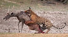 Tiger attacking a sambar in Ranthambore