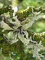 Ramalina canariensis J. Steiner 224624.jpg