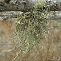 Ramalina stenospora - Flickr - pellaea.jpg