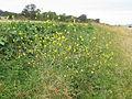 Rapistrum rugosum plant6 (14758783607).jpg