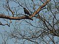 Rare eagle species holding its prey.jpg