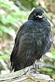 Raven Fledgling Standing.jpg