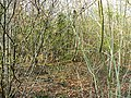 Ravensroost Wood - geograph.org.uk - 1234562.jpg