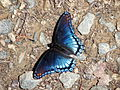 Red-Spotted Purple Butterfly at Hanging Rock State Park.jpg