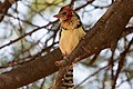 Red-and-Yellow Barbet (27903548770).jpg