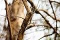 Red-bellied woodpecker (32995909706).jpg