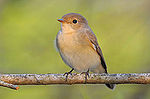Red-breasted Flycatcher.jpg