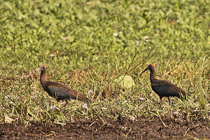 Kanwar Lake Bird Sanctuary - Image: Red naped Ibis at Kanwar Lake