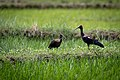 Red-naped ibis with juvenile foraging in the field.jpg