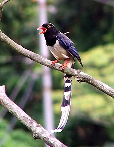 Red Billed Blue Magpie.jpg